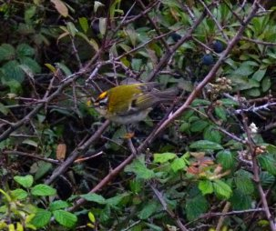 Firecrest Berry Hd 7 oct 13 ML