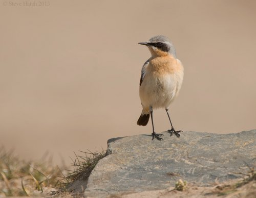Wheatear Northam burrows