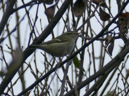 Yellow-browed Warbler Youngs Park 08 Nov 2016 ML