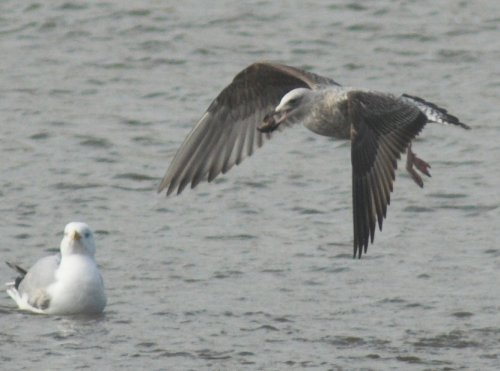 Yellow-legged Gull - 29/3/2014 Topsham Rec