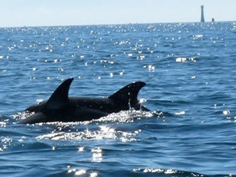 common dolphins and eddystone lighthouse