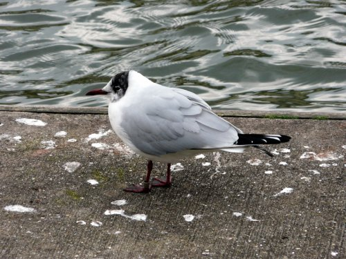 metal-ringed black-headed gull