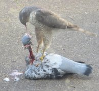 Sparrowhawk and deceased pigeon