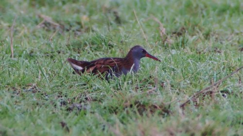 Water Rail at BGM Viewing Platform