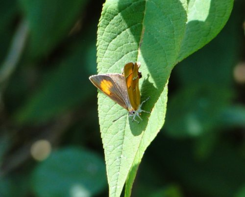 Brown Hairstreak, female