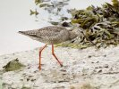Spotted Redshank © David Paterson, 14/9/2020, Fremington Pill