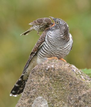 Cuckoo juv fed by pipit
