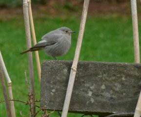 Black Redstart Female Clennon Valley 1 Jan -1 March 2013 ML