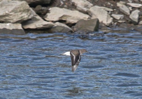 One of Three Common Sandpiper.