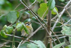 Firecrest Berry He 25 Nov 2018 ML