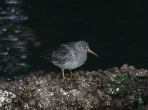 Purple sandpiper, Brixham harbour