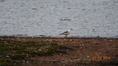Ross's Gull + Little Ringed Plover