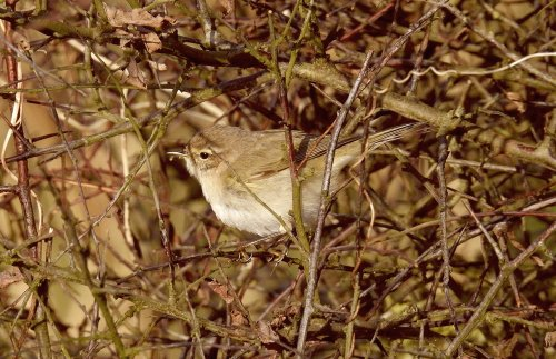 Siberian Chiffchaff Broadsands 26th Feb 2020 ML