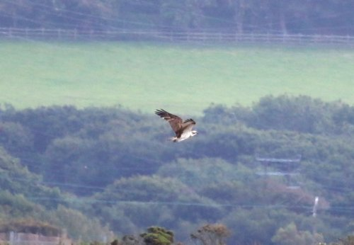Osprey heading over the Taw for seconds!