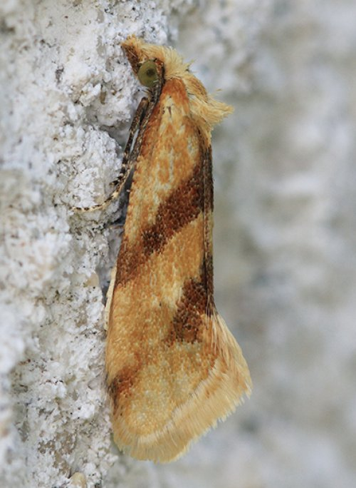 Aethes deaurana. First Devon record.