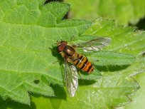 Male Episyrphus balteatus (marmalade hoverfly)