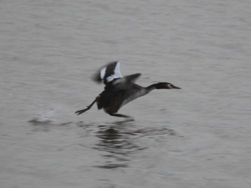 Great Crested Grebe taking off
