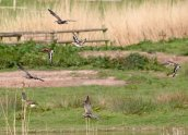 Black-tailed Godwit & Whimbrel