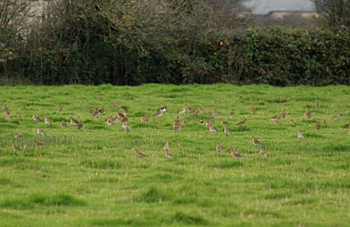 Golden Plover Great Field Braunton