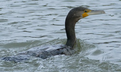 Continental Cormorant imm Stoke Gabriel 13 Dec 2015 ML