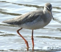 Spotted Redshank showing eye stripe