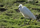 Little Egret in the field adjacent to Wrafton Pond