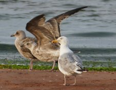 Yellow-leggedGull BRDSNDS 290817ML