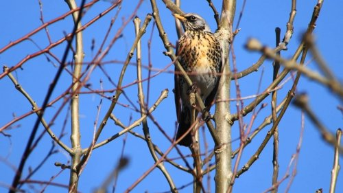 Fieldfare at Darts Farm