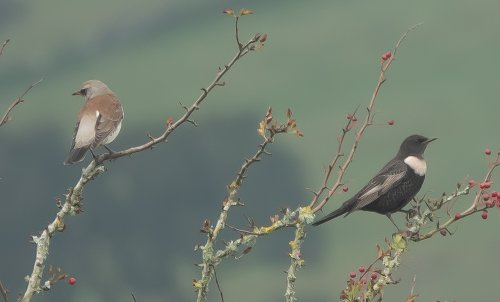 Ring Ouzel (Male) + Fieldfare - South Brent -23.10.2019