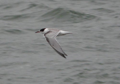 juv common tern