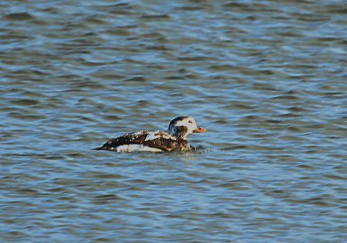 Long-tailed Duck BGM