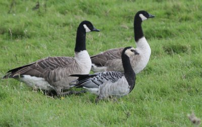 Barnacle Goose with Canadas BGM 19.8.12 D Carter