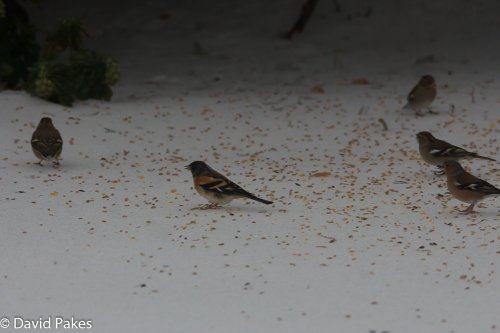 Brambling - South Brent - 2.3.2018