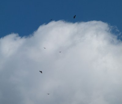 Buzzards Ipplepen 14 Mar 13 ML