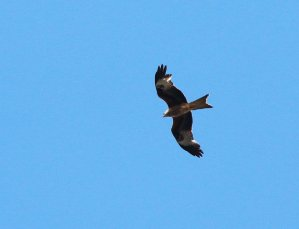 Yay, Red Kite
