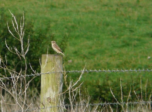 whinchat - Orcombe Point