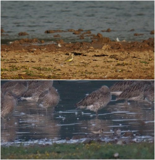 Yellow Wagtail (top) & Little Stint (bottom)