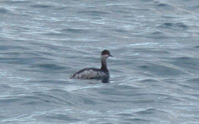 Black-necked Grebe, Broadsands 8 Nov 12 ML
