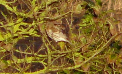 presumed common redpoll