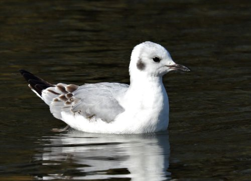 Is this a Bonaparte's Gull?