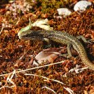 Common Lizard (earliest seen)