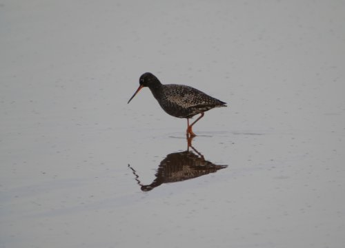 Spotted Redshank in summer plumage