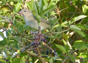 Garden Warbler Berry Hd 4 Sep 2015 ML