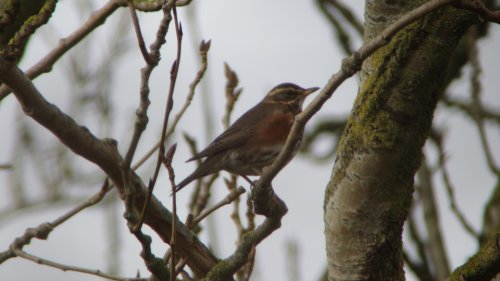 Redwing  at King George Playing Fields