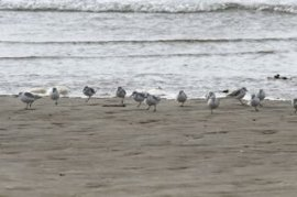 Sanderling feeding and resting on Saunton Sands