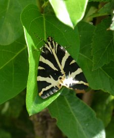 Jersey Tiger Clennon Valley 21 July 2014 ML
