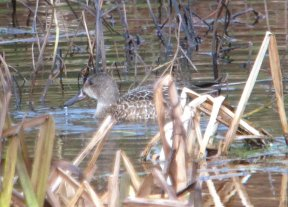 Blue-winged Teal Mansands 25 Nov 2019 ML