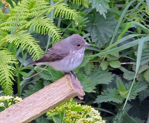 Spotted Flycatcher in The Valley.