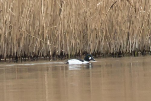Male Goldeneye - Slapton - 12.2.15