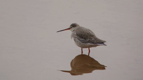 Spotted Redshank at Goosemoor